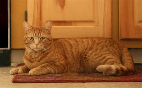 cats on rugs cat lounging on a rug wallpaper hotfreewallpaper