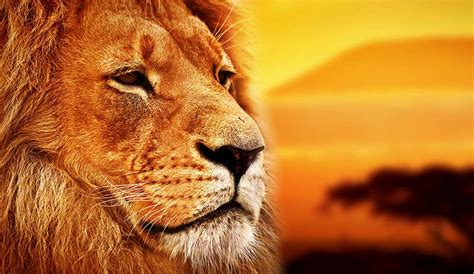 lion biography in english 20 beautiful african words in the lion king that ll make