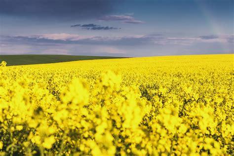 olio di colza alimentare propriet 224 olio di colza danni e benefici non sprecare
