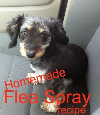 flea shoo for dogs flea spray for dogs chemical free