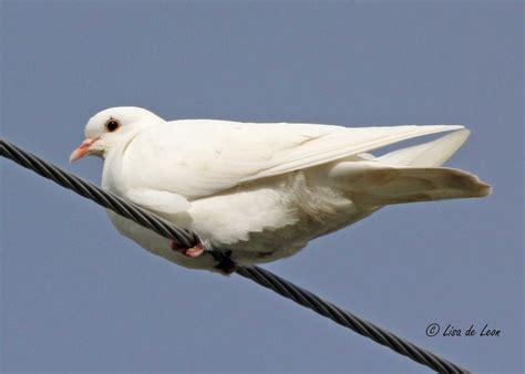 birding with lisa de leon white dove