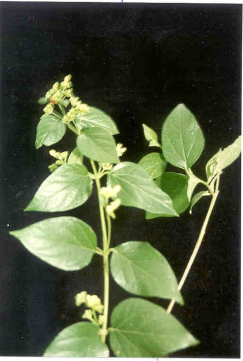 Air Hidrosol Daun Sirih Murni 500 Ml tumbuhan obat dan sains srigading pengusir demam