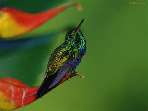 1000 images about colibri on pinterest animales
