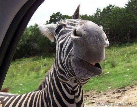 imagenes chistosas riendose increible cebras riendo taringa