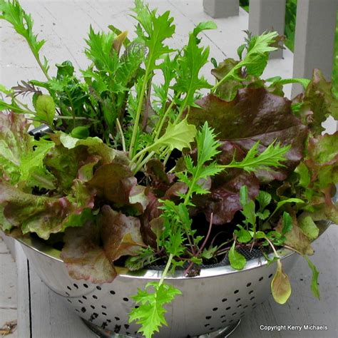 lettuce container garden container gardening resource