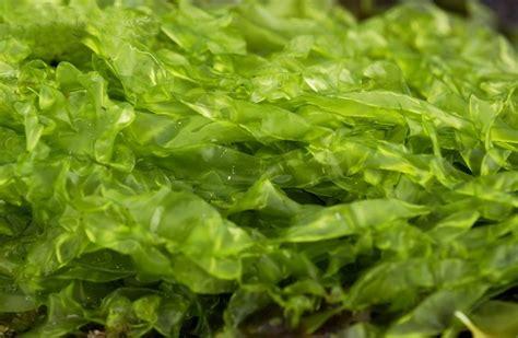 acadian seaplants limited major seaweed classes