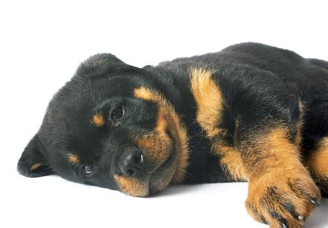 rottweiler puppy guide a guide in choosing your rottweiler puppy mega bored