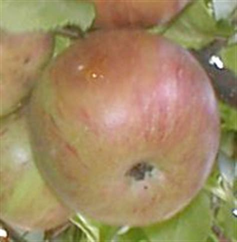 apfelbaum mehrere sorten kreuzen apfelsorten cross