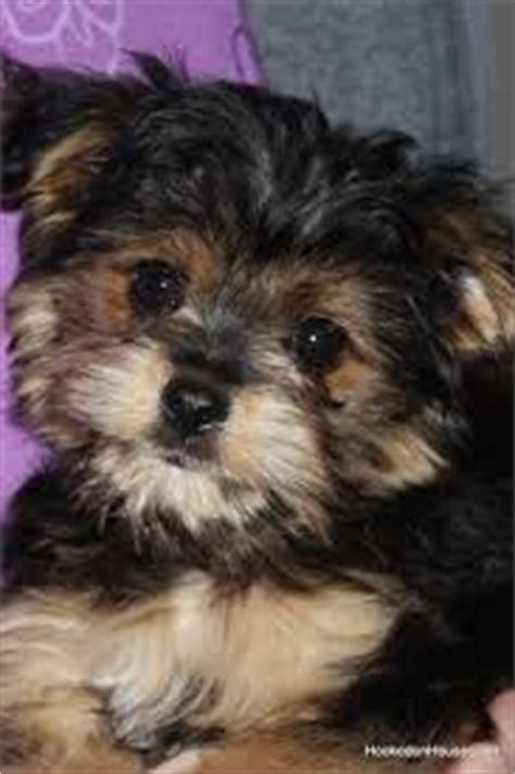 yorkie poo temperament 1000 images about morkie poo on spaniels to find out and puppys
