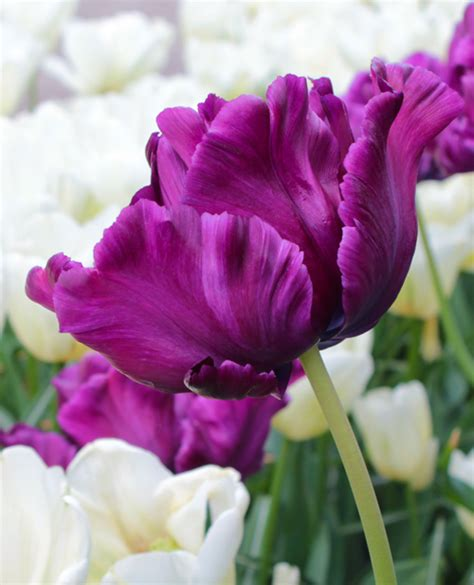 secret flowers tulip s secret quality flower bulbs youtulip