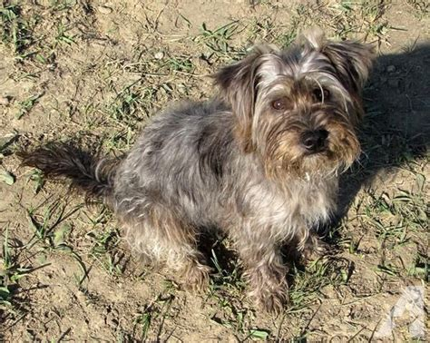 cairn yorkie mix loving terrier cairn or yorkie mix for sale in burtonville kentucky