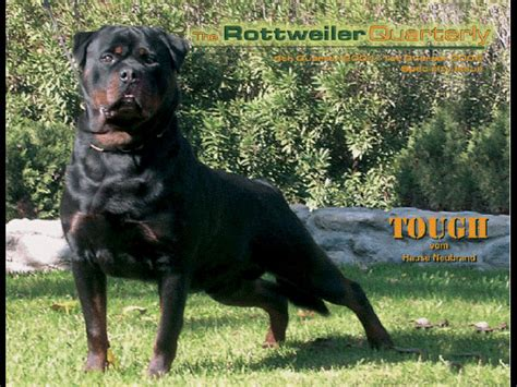 rottweiler germany home page arizona rottweilers chion puppies