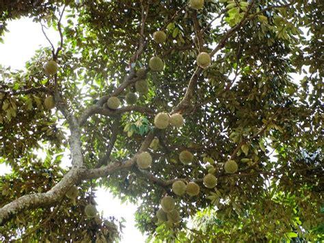 durian fruit tree capturing penang king of fruits the durian