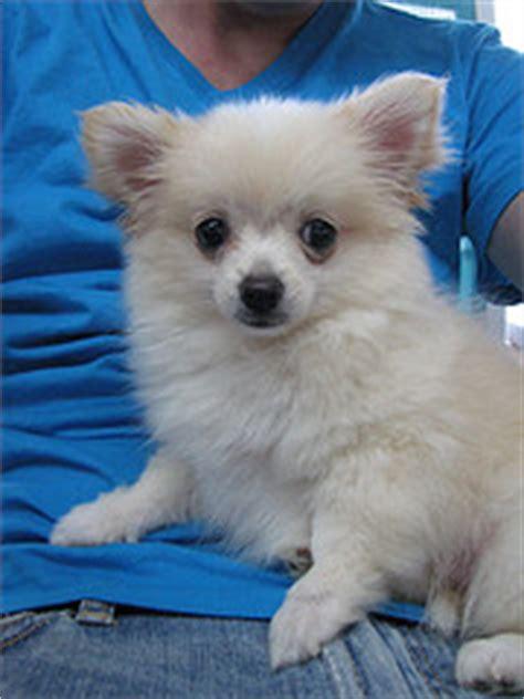 pomeranian chihuahua mix personality pomchi pomeranian chihuahua mix info temperament puppies pictures
