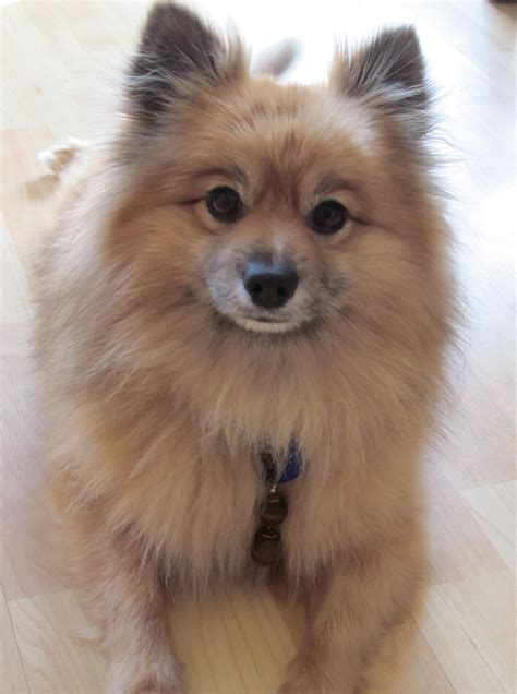 teddy pomeranian rescue teddy s rescue story 1 800 petmeds cares