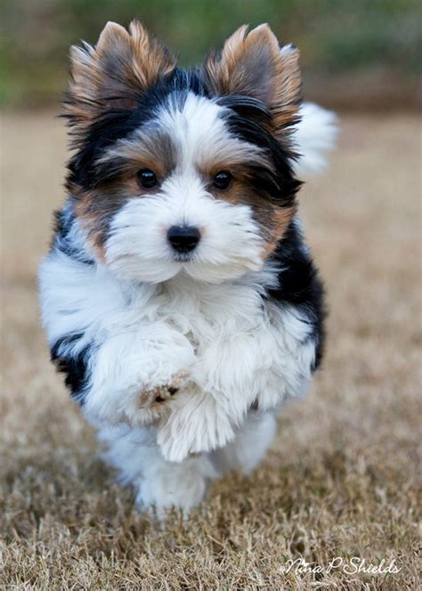 what are biewer yorkies 1000 images about biewer terrier on yorkie yorkie puppy and