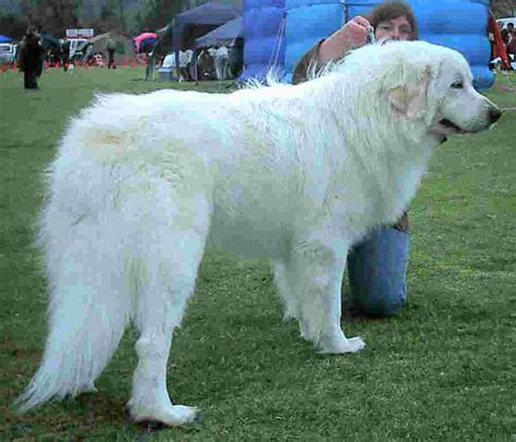 great pyrenees puppy great pyrenees animals