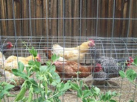 Chickens For Backyards by Diy Chicken Tunnel For Backyard Beesdiy