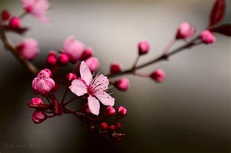 significato dei fiori giapponesi fiori di ciliegio significato fiori significato dei