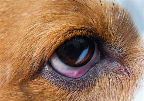 conjunctivitis in dogs 5 signs your s eye boogers are caused by something dangerous barkpost