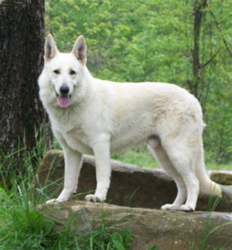 all white german shepherd rosehall kennel large white german shepherds