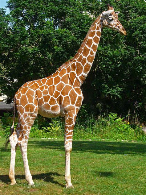 imagenes de jirafas salvajes giraffa reticulata wikipedia la enciclopedia libre