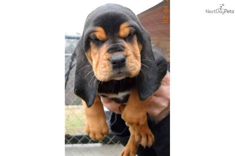 akc bloodhound puppies for sale meet molly a bloodhound puppy for sale for 600 akc bloodhound