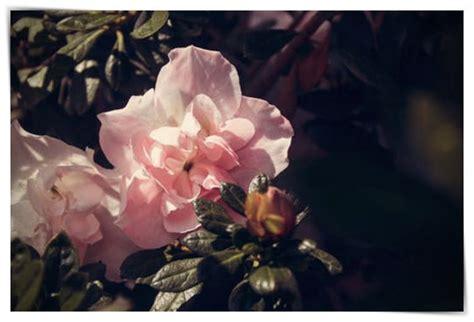 imagenes rosas llorando imagenes de rosas llorando dibujo imagenes