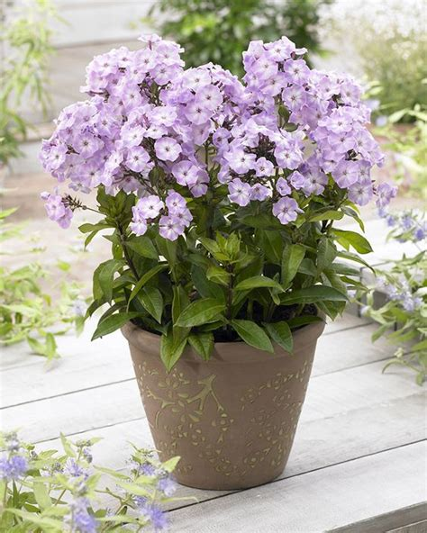 butterflies plants and patio on - Fragrant Container Plants