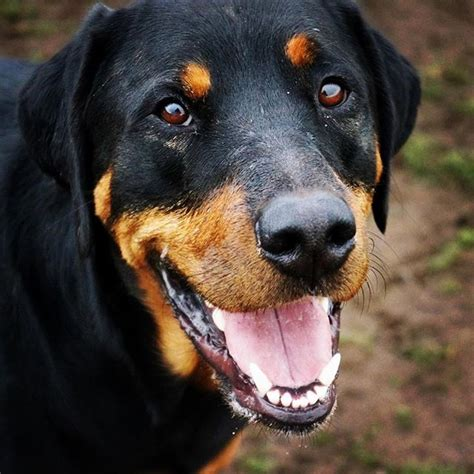 rottweiler lymphoma 10 breeds that are most likely to develop cancer barkpost