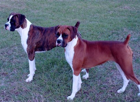american boxer american boxer puppies