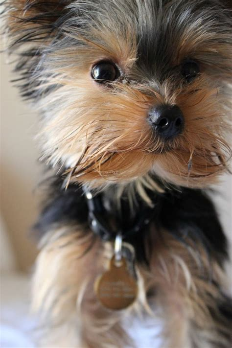 where yorkies come from 25 best ideas about terrier puppies on puppies