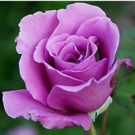 Pupuk Organik Bunga Mawar jual tanaman mawar ungu hp 085608566034
