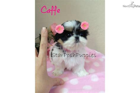 imperial shih tzu puppies arizona micro teacup imperial shih tzu puppy caffe breeds picture
