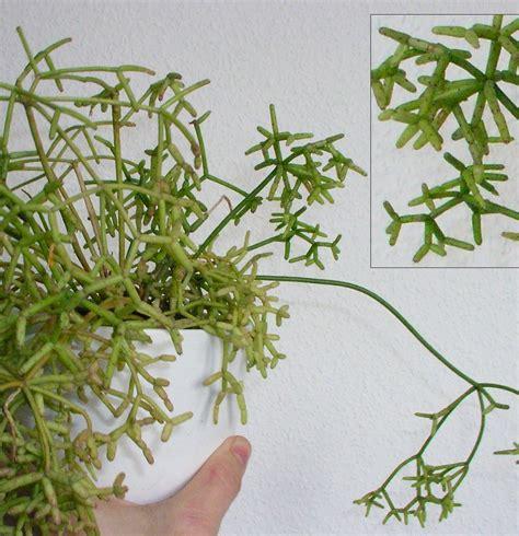 schädlinge bei zimmerpflanzen 3884 sch 228 dlinge zimmerpflanzen bilder sch dlinge auf