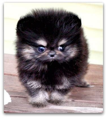 mini teddy puppies teddy breed information which is right for you