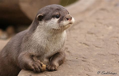 baby asian short clawed otter otters cute otters