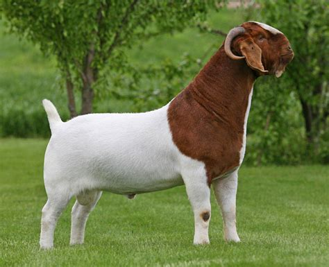 stud buck the stud bucks of able acres boer goats