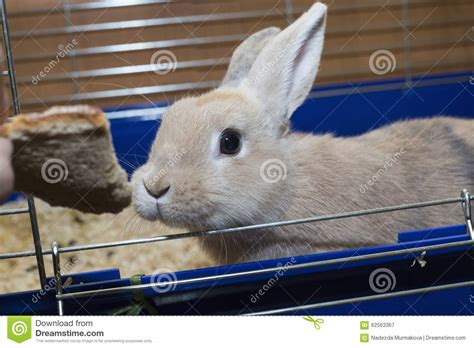 Golden Rabbit by Golden Rabbit In A Blue Cage Domestic Pet For