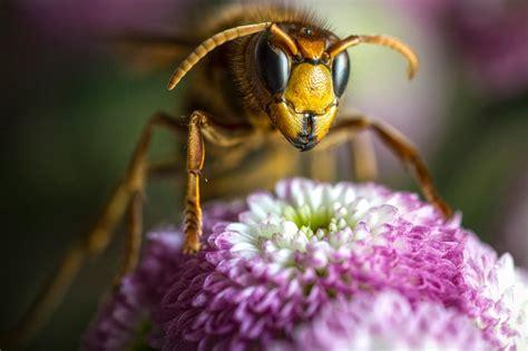 vespa asiatica conheca esta ameaca