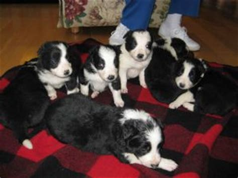 border collie puppies for sale in ky border collie puppies for sale
