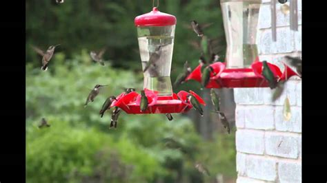 hummingbird migration youtube