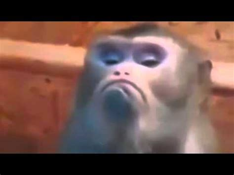 funny video  angry monkey face youtube