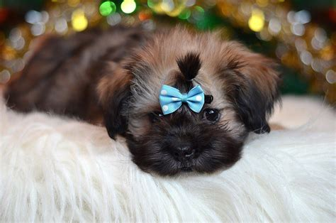 shih tzu pros and cons want to bring a shih tzu at home a bit about it