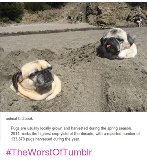 pugs in season animalfactbook pugs are usually locally grown and harvested during the season