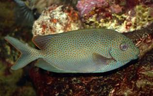 file goldspotted spinefoot saltwater fish 3008px jpg wikimedia commons