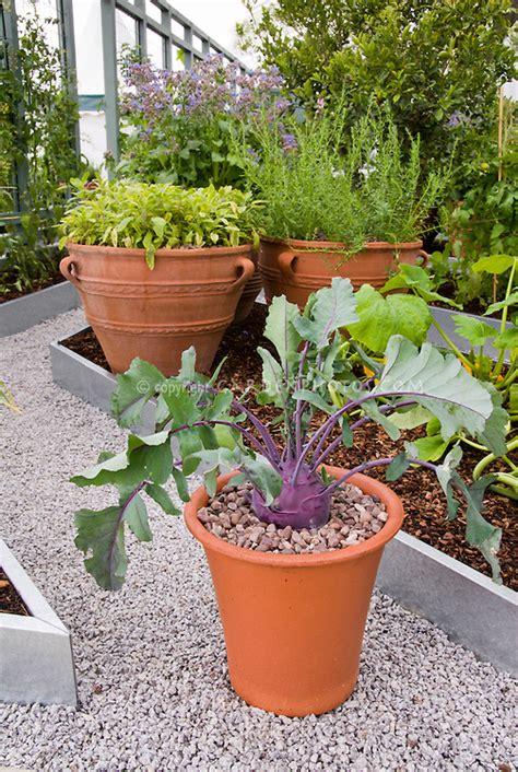purple kohlrabi growing in pot plant amp flower stock