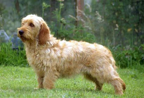 basset fauve de bretagne puppies basset fauve de bretagne breeders puppies and breed information