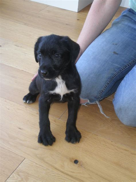 lab pointer mix puppies for sale medium size breed similar to the labrador breeds picture
