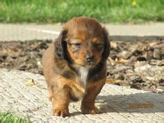 chiweenie puppies for sale in ohio puppies on haired dachshund adoption and pugs